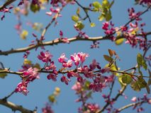Pink flowers on branches of a tree in a spring sunny day against a background of a blue sky stock image
