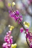Cercis European flowers colorful spring background Stock Photo