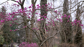 Cercis European, Judas tree. A beautiful flowering tree Stock Image
