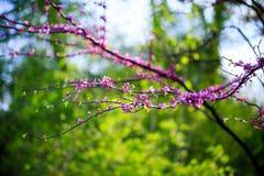Cercis europejczyk, europejczyk Tsertsis lub Judaszowy drzewo, (lat Cercis Fotografia Royalty Free
