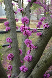 Cercis racemosa flowers (CercischinensisBge) Royalty Free Stock Photos