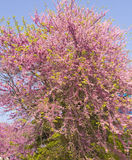 Cercis Redbud tree in blossom Royalty Free Stock Images
