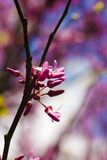 Cercis Siliquastrum Stock Photos