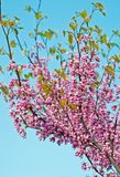 Cercis siliquastrum Stock Photography