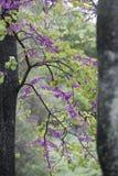 Cercis siliquastrum, commonly known as the Judas tree Stock Image