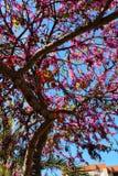 Cercis Siliquastrum drzewo w ogródzie zdjęcie royalty free