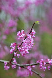 Cercis siliquastrum - Judas tree Royalty Free Stock Image