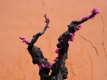 Cercis Siliquastrum Or Judas Tree In Bloom On Crete Greece. In spring Stock Photography