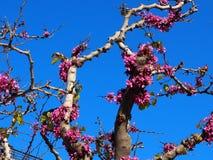 Cercis Siliquastrum Or Judas Tree In Bloom On Crete Greece. In spring Stock Photo