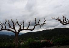 Cercis Siliquastrum Or Judas Tree  On Crete Greece. Cercis siliquastrum or Judas tree on Crete Greece in spring Royalty Free Stock Photos