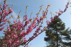 Pink Flowers of Cercis Siliquastrum Tree. Cercis Siliquastrum pink flowers tree branches in a forest on the season of spring Royalty Free Stock Image
