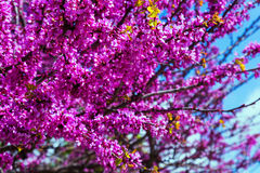Cercis siliquastrum in spring Royalty Free Stock Image