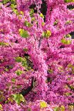 Cercis Siliquastrum tree. Also called Judas tree Royalty Free Stock Photos