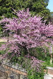 Cercis Siliquastrum tree Royalty Free Stock Photos