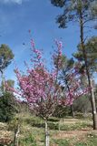 Cercis Siliquastrum Tree. In a forest with blooming with pink flowers on its branches on the season of spring Royalty Free Stock Images