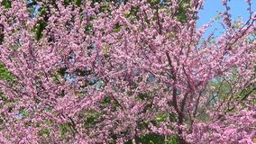 Cercis trees. In blossom - trees and branches stock video footage