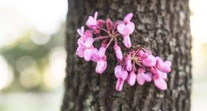 Cercisbloem op boomstam stock afbeeldingen