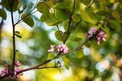 Cercisbloemen op takken royalty-vrije stock afbeeldingen
