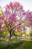 Cercisboom in bloesem royalty-vrije stock foto