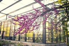 Cercisboom in volledige bloesem stock afbeelding