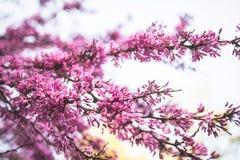 Cercisboom in volledige bloesem royalty-vrije stock afbeelding