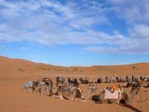 Cercle des chameaux dans l'erg Chebbi Sahara Desert Photos stock