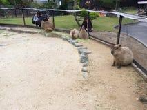 Cerco do Capybara no inferno de Beppu Japão Imagem de Stock