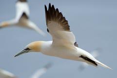 Cerco do norte do gannet Imagem de Stock