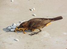 Cercomela-Vogel Lizenzfreies Stockbild