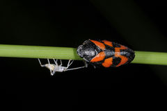 Cercopis vulnerata, red-and-black froghopper. Passing a friend Royalty Free Stock Images