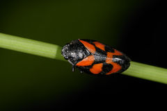 Cercopis vulnerata, rot-und-schwarzes froghopper stockfotografie