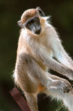 Cercopiteco grigioverde nel Senegal, Africa fotografia stock libera da diritti