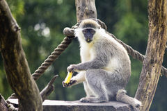Cercopiteco. Vervet monkey caught while eating Stock Photography