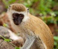 Cercopithecus Aethiops Vervet monkey Stock Photos