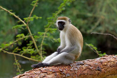 Cercopithecus Aethiops Vervet monkey Royalty Free Stock Photo