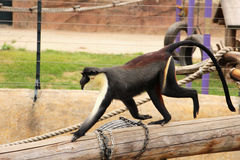 Πίθηκος Cercopithecus dianaï ¼› Diana Στοκ Εικόνες