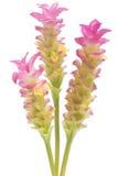 Cercuma alismatifolia Stock Images