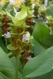 Cercuma alismatifolia Gagnep obraz stock