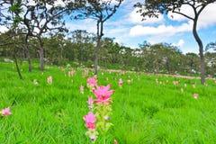 Cercuma alismatifolia Gagnep forest Stock Photos
