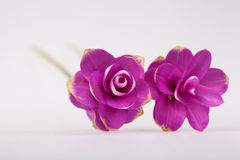 Cercumaalismatifolia Gagnep, Royalty-vrije Stock Foto's