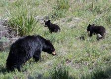 Cerda femenina americana del oso negro con dos cachorros del bebé en el parque nacional de Yellowstone Imagen de archivo libre de regalías