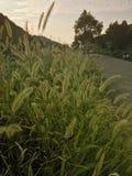 Cerda-hierba por el camino Imágenes de archivo libres de regalías