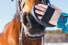 Cerdas de cepillado de la muchacha en la cara de un caballo rojo imagen de archivo
