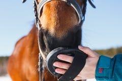 Cerdas de cepillado de la muchacha en la cara de un caballo rojo imagen de archivo libre de regalías