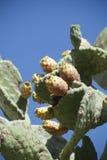 Cerdeña. Pera del cactus Foto de archivo