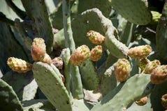 Cerdeña. Cactus espinoso Imagen de archivo libre de regalías
