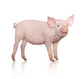 Cerdo Imágenes de archivo libres de regalías