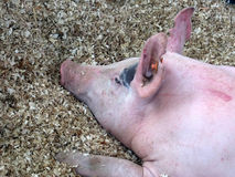 Cerdo imagen de archivo libre de regalías