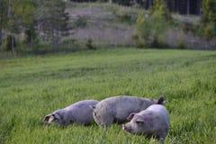 Cerdo Fotos de archivo