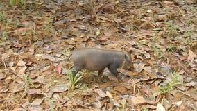 Cerdo barbudo de Bornean, parque nacional de Bako, Borneo, Sarawak, Malasia almacen de metraje de vídeo